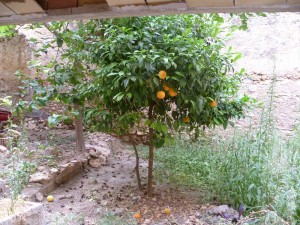 small courtyard with fig and orange trees